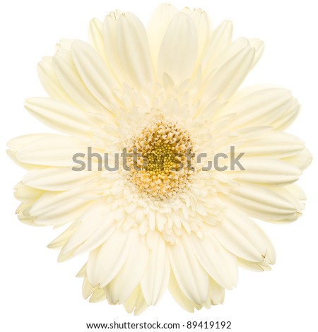 White daisy flower isolated on white background - stock photo