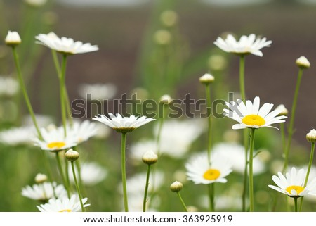 white daisy flower meadow spring season - stock photo