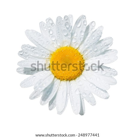 White daisy flower with dew drops isolated on white background - stock photo