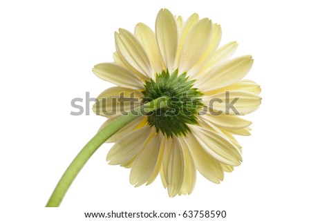 White daisy flower with stem isolated on white background, view from behind - stock photo