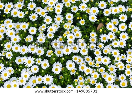 white daisy flowers - stock photo