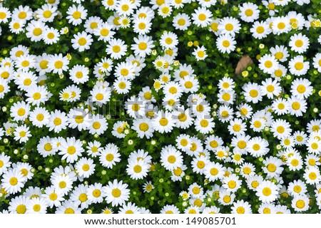 white daisy flowers - stock photo