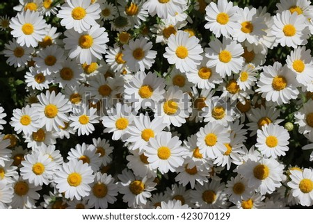 white daisy flowers