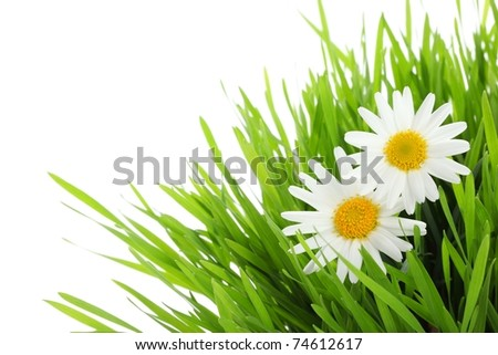 white daisy flowers in green grass - stock photo
