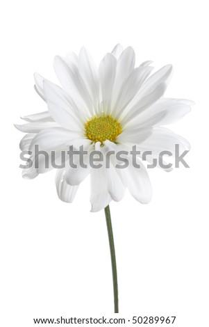 White Daisy Isolated. Studio lit, critical focus on center of flower - stock photo