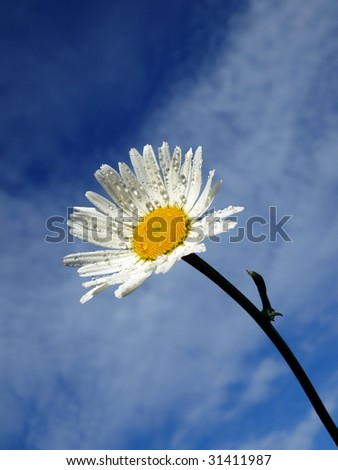 white daisy on  the blue sky background