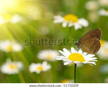 White daisy with butterfly - stock photo