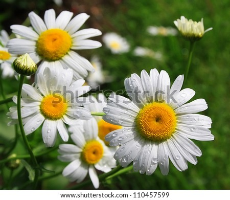 White daisy with drops of water on a meadow - stock photo