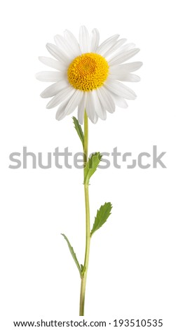 White daisy with stem isolated on white background - stock photo