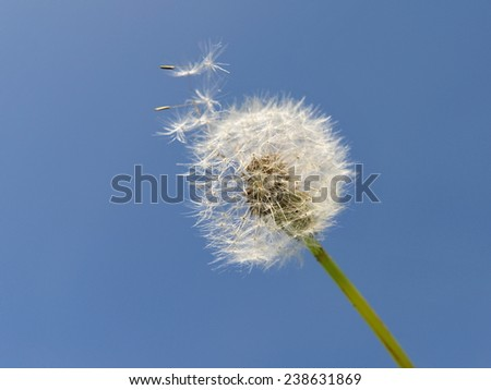 White Dandelion Blowing in the Wind - stock photo