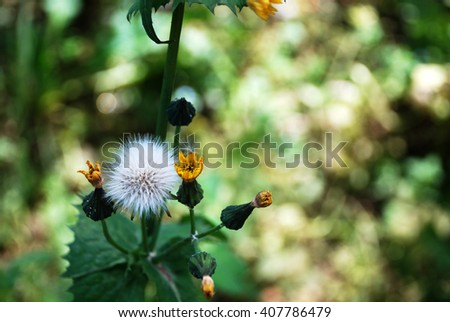 White dandelion flower on colorful nature background with small orange flowers / Dandelion Pollen  - stock photo