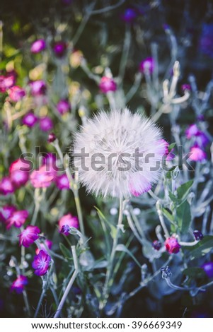White dandelion flower on colorful nature background with small pink flowers - stock photo