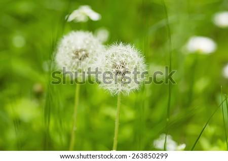 White dandelion flower on green grass at  spring time - stock photo