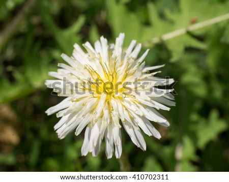 White dandelion flowers season stock photo royalty free 410702311 white dandelion flowers in season mightylinksfo