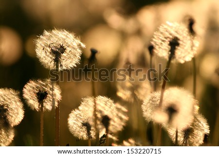 white dandelion in back light - stock photo