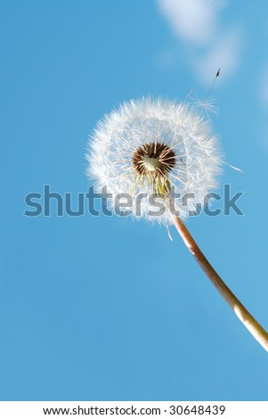 White dandelion in sunlight