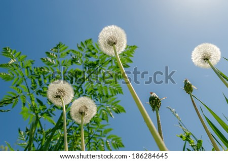 white dandelion with green grass under blue sky and sun - stock photo