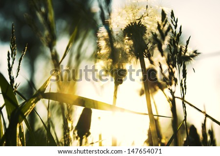white dandelions - stock photo