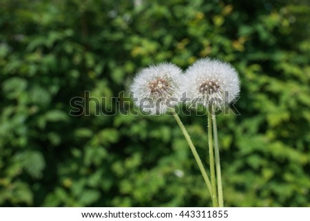 White dandelions, natural green background - stock photo