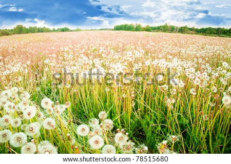 White dandelions on a summer solar meadow - stock photo