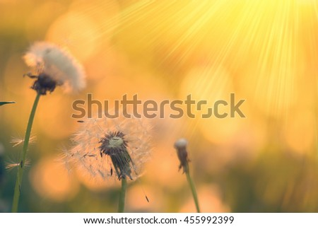 White dandelions on a sunset background - stock photo