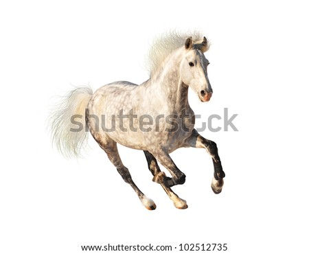 white dappled horse galloping on black - stock photo