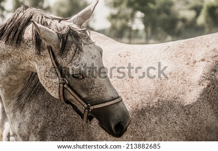 White dappled horse posture with dangerous eye look in sunny day - stock photo