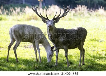 White deer - stock photo