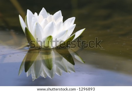 white delicate water lily - stock photo