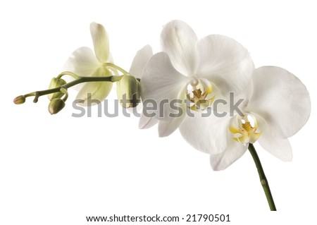 White dendrobium orchid isolated on white background.  Super white background-- professionally isolated with clean edges and no grey.