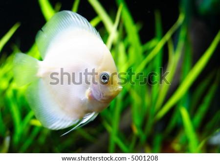 White discus fish - stock photo