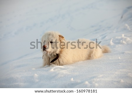 White dog at top of the mountain in wintertime