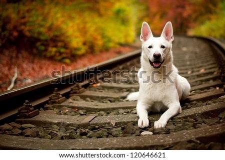 white dog autumn White Swiss Shepherd - stock photo