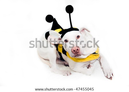 White dog in Bumblebee Costume - stock photo
