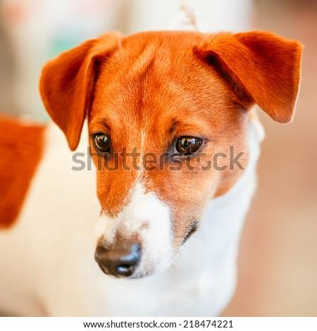 White Dog Jack Russel Terrier On Gray Floor Indoors - stock photo