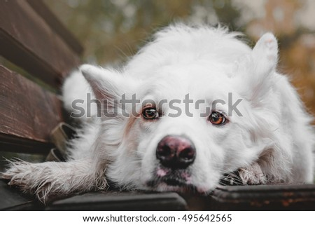 White dog lying on the bench