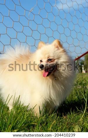White dog pomeranian ran green grass. - stock photo
