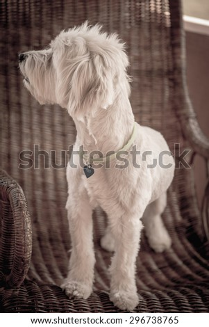 White dog portrait on a rattan chair - stock photo