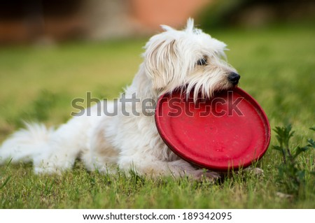 White dog  relax after playing frisbee in the garden - 3 - stock photo