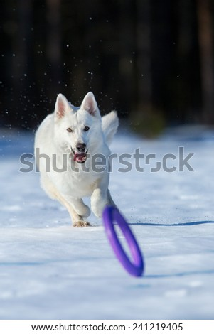 White dog running after a frisbee in wintertime - stock photo