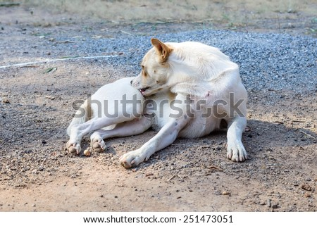 White dog self cleaning tick and flea. - stock photo