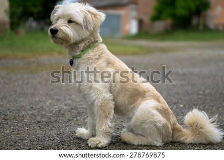 White dog sitting in the backyard - stock photo