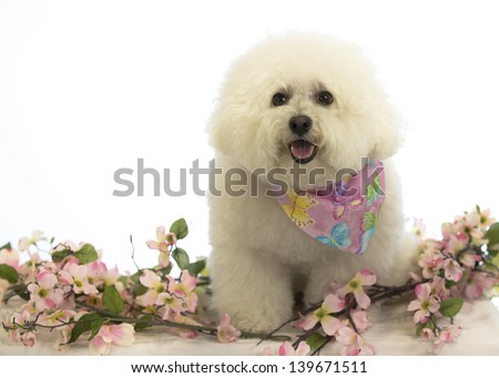 White dog stands among dogwood blossoms; high-key spring art