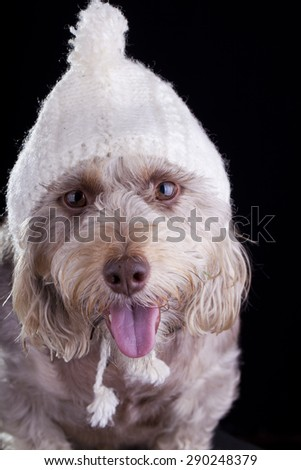 white dog with hat staring at camera closeup - stock photo