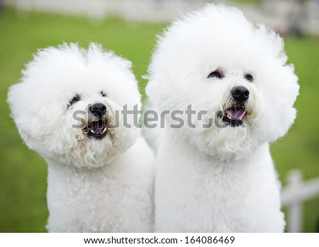 white dogs - stock photo