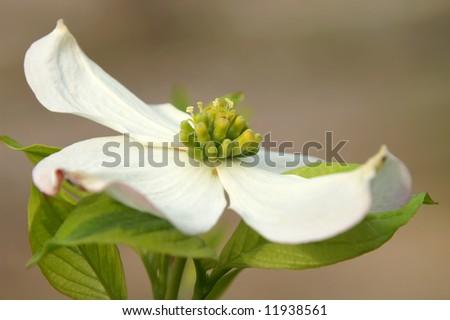 White Dogwood Blossom Cornus Florida Macro Side View Horizontal - stock photo