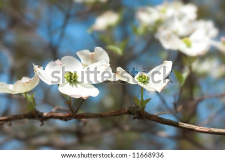 white dogwood flowers - stock photo