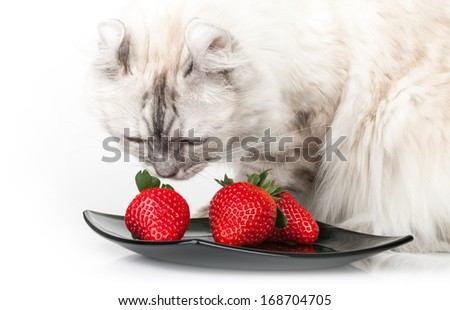 White domestic cat eats fresh red strawberry - stock photo