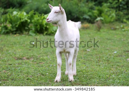 White domestic goat grazing on pasture summertime - stock photo
