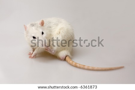 white domestic rat sitting on the white surface